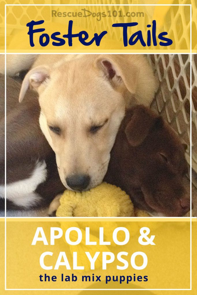 Foster Dog Tails, Apollo and Calypso the lab puppies