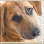 Foster Tails, Suzie the Golden, Shepherd Mix
