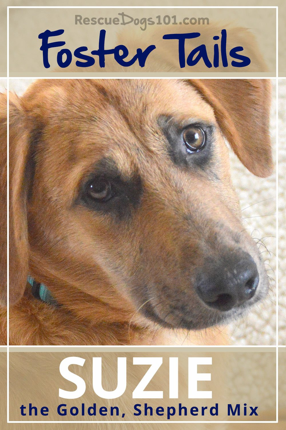 Foster Dog Tails, Suzie the Golden, Shepherd Mix – Our story about being Suzie's foster family
