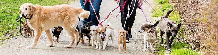 large dog pack walking