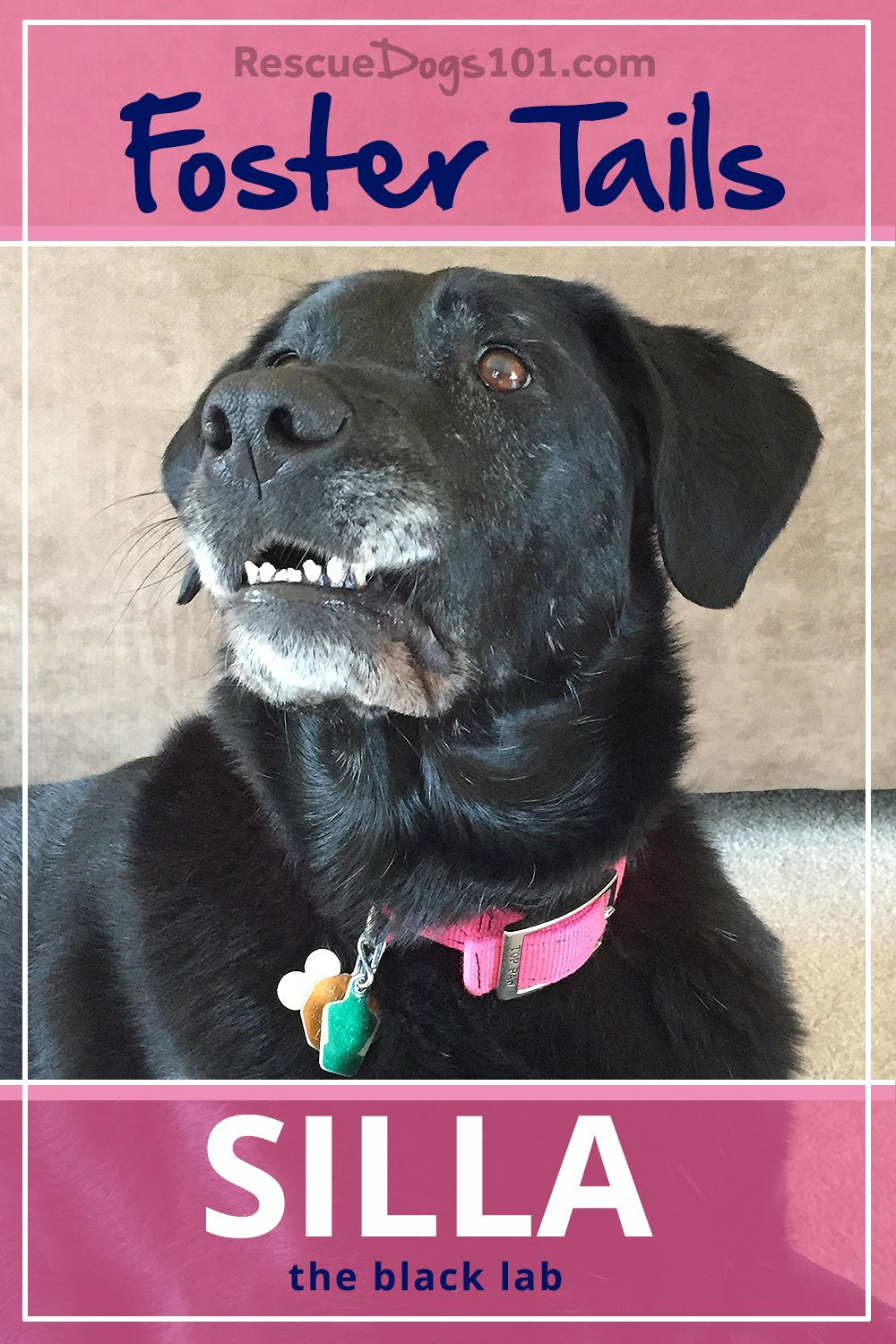 Foster Dog Tails, Silla the Black Lab – Our story about being Silla's foster family