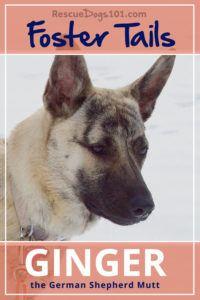 Foster Dog Tails, Ginger the German Shepherd Mutt