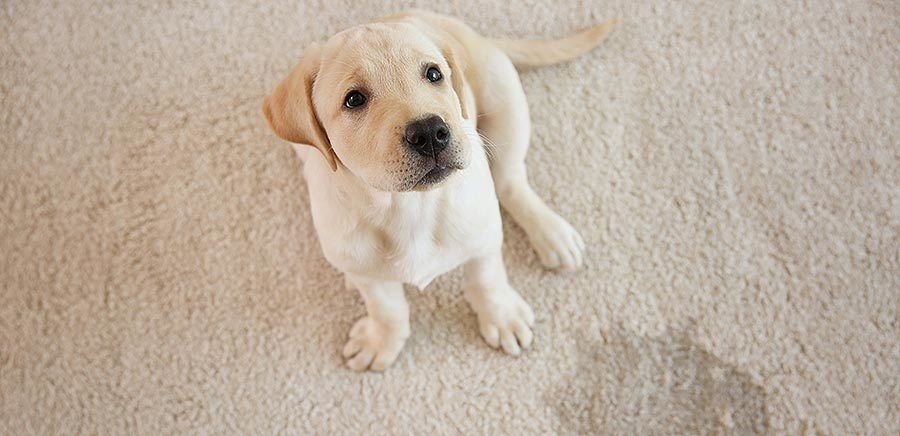 How to Potty Train a Puppy Fast & Easy