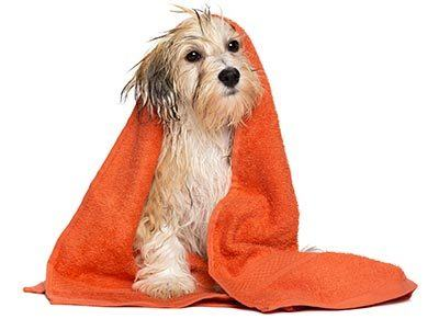 wet dog after getting bath wrapped in a towel