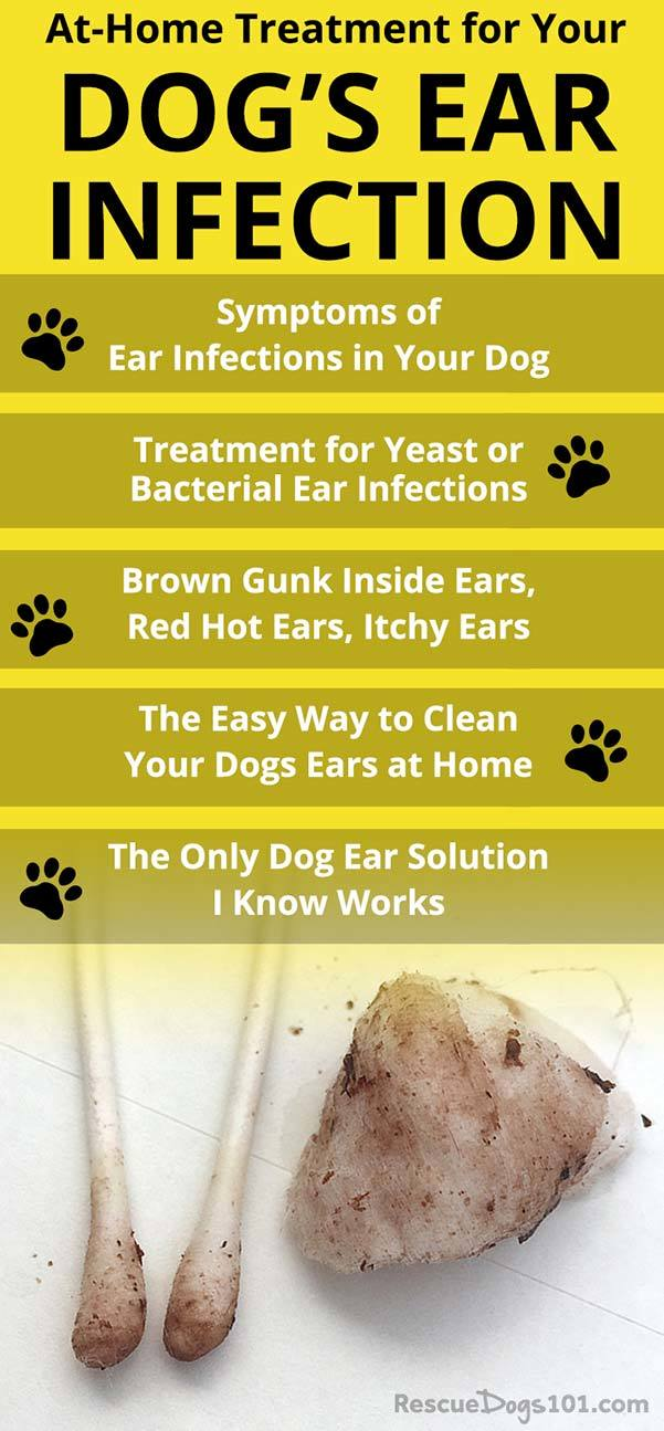 How to get rid of ear infection at home without going to the vet.