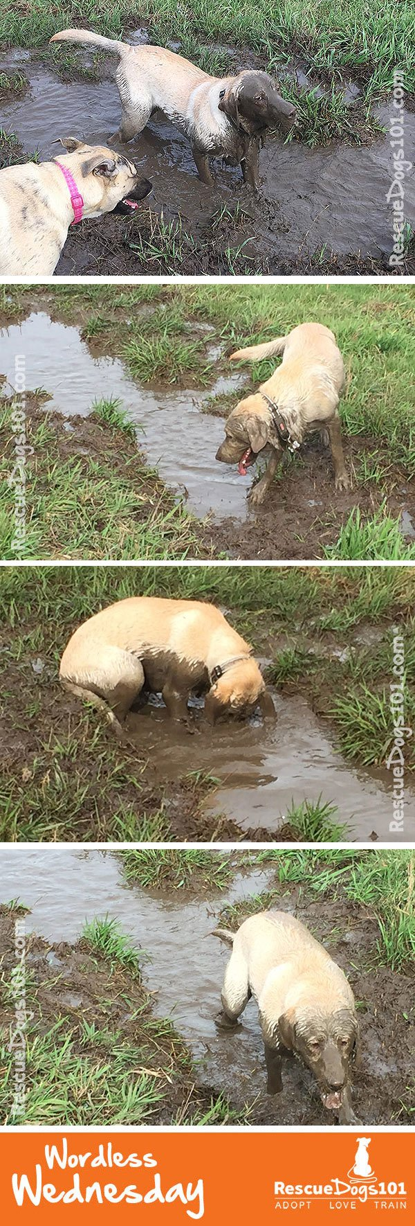Does your dog like to play in the mud? #wordlesswednesday #rescuedogs101
