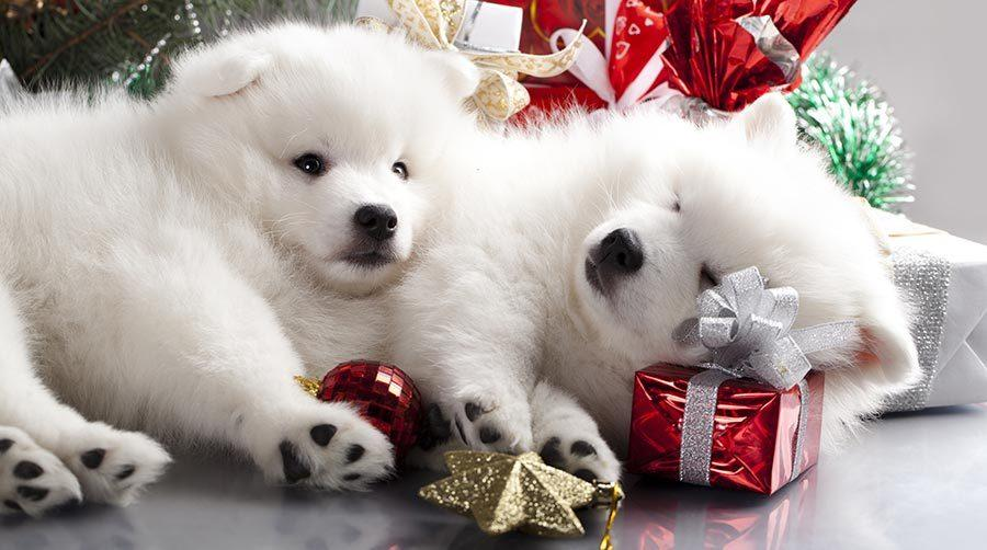 cute puppies, adopting and surprising a puppy for Christmas present