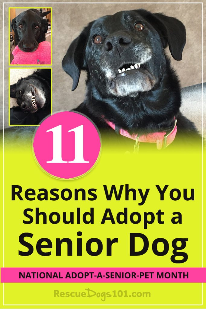 Top 11 Reasons Why Adopting a Senior Dog is The Perfect Choice