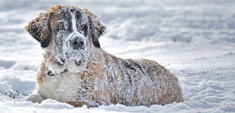 avoid 13 scary winter dangers dog - hypothermia