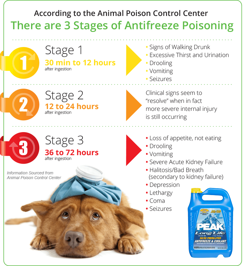 "Stage 1 — 30 minutes to 12 hours after ingestion • Signs of Walking Drunk • Drooling • Vomiting • Seizures • Excessive Thirst and Urination Stage 2 – 12 to 24 hours after ingestion • Clinical signs seem to ""resolve"" when in fact more severe internal injury is still occurring Stage 3 – 36 to 72 hours after ingestion • Severe Acute Kidney Failure • Loss of appetite, not eating • Lethargy • Drooling • Halitosis/Bad Breath (secondary to kidney failure) • Coma • Depression • Vomiting • Seizures Information sourced from Animal Poison Control Center"