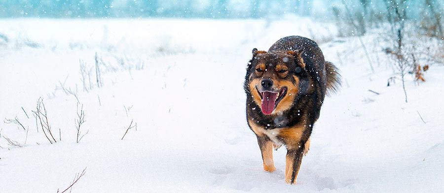 7 best ways protect dogs paws winter - snow dog