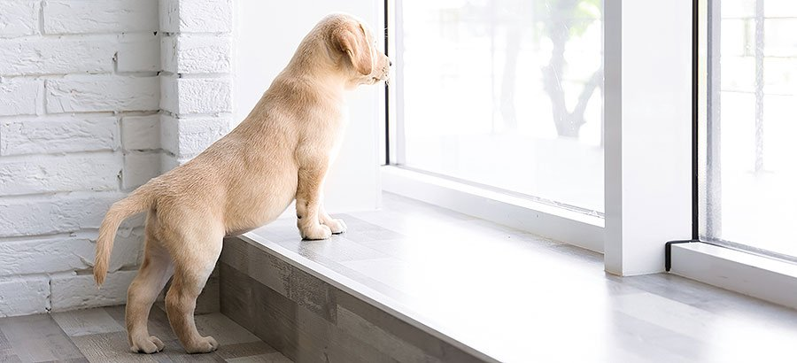 Puppy looking out of window