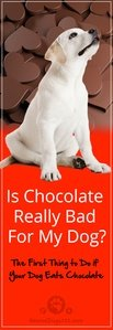 The First Thing to Do if Your Dog Eats Chocolate