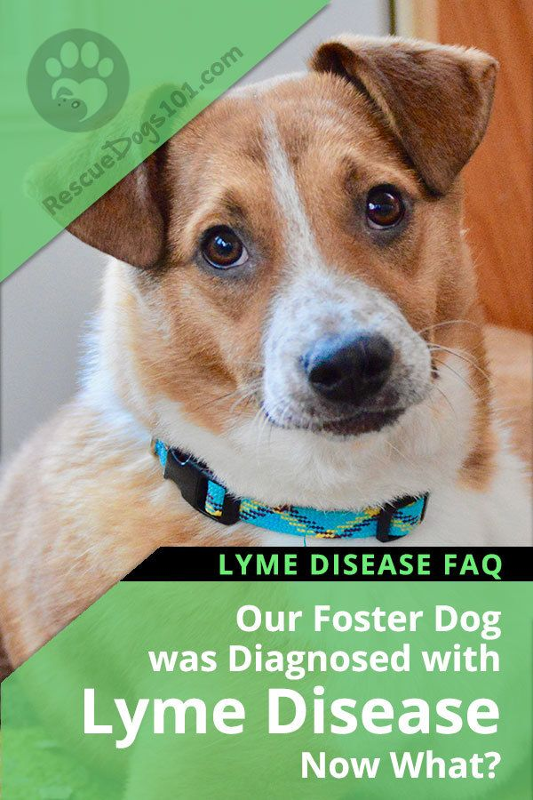 Foster Dog Has Lyme Disease FAQ