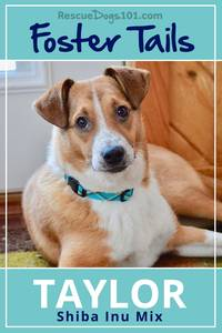 Foster dog tails of Taylor the Shiba Inu Mix
