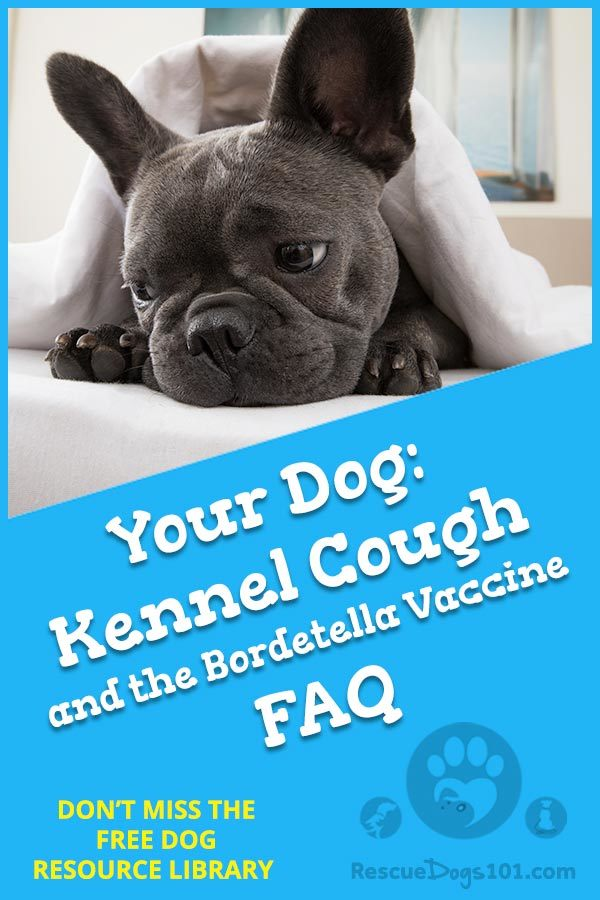 Kennel Cough and Bordetella Vaccine FAQ: 1. What does kennel cough sound like? 2. How do you know if your dog has kennel cough? 3. How long does kennel cough last? 4. Is kennel cough contagious to other pets? 5. Is kennel cough contagious to humans? 6. Is it okay to treat kennel cough with over the counter human Robitussin? #kennelcough #homeremedy #homeremedies #doghealth #dog #petsafe #doglovers  #dogcare #doghealthtips #doghealthwellness #dogstuff #puppy #rescuedogs101