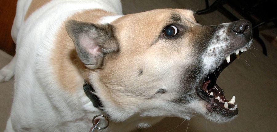 Resource aggressive dog