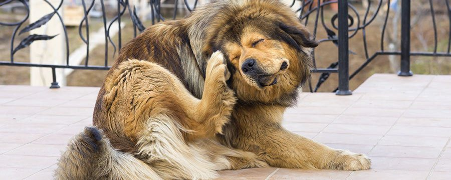 Dog with allergies scratching