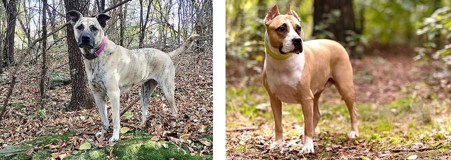 Ginger compared to American Staffordshire Terrier