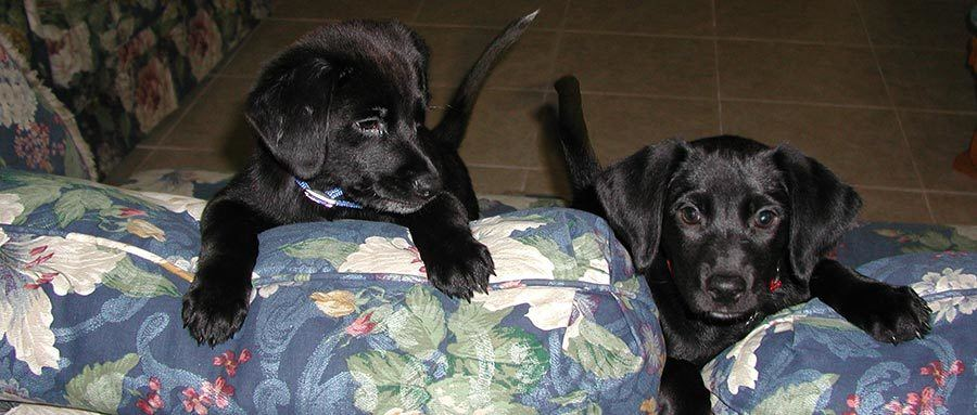 A story about adopting two lab puppy siblings