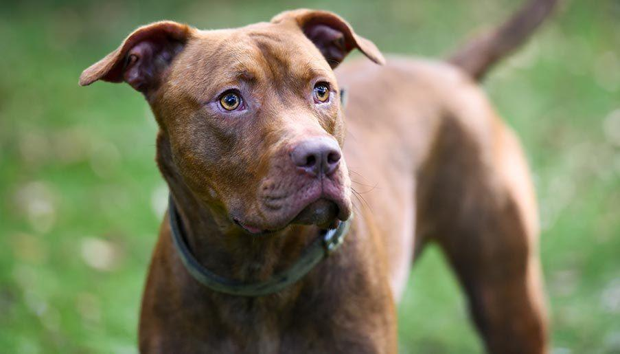 rehoming dog pitbull dog