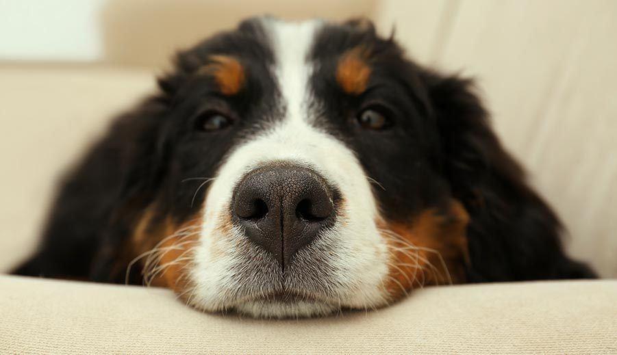 big dog on furniture smells like dog