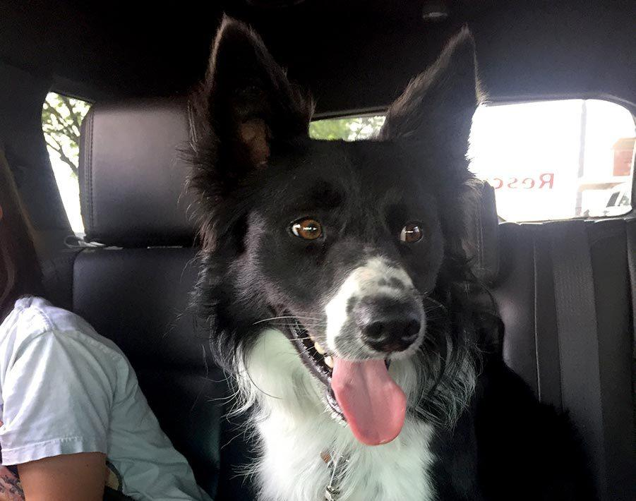 adoption story of rocky the border collie
