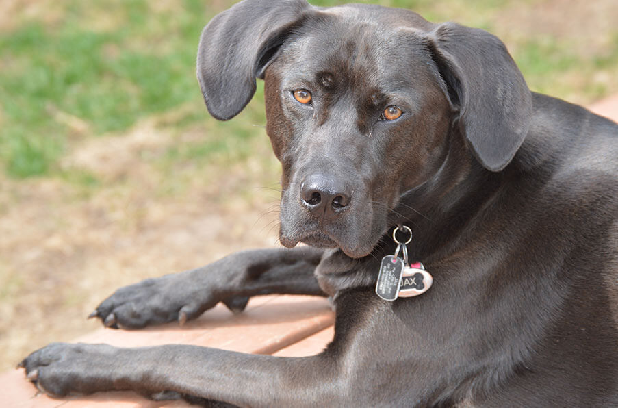 What is black dog syndrome?