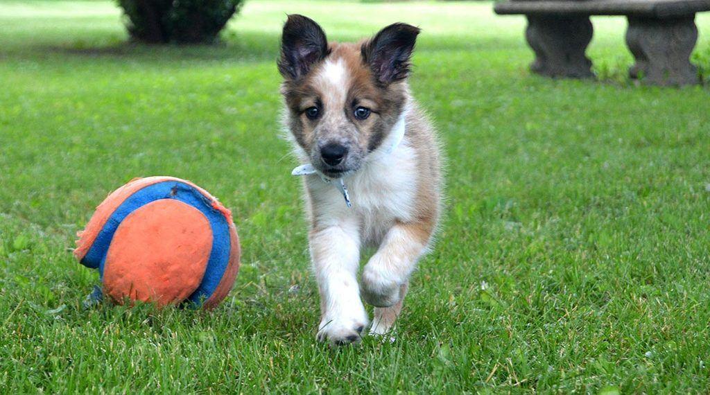border collie puppy from breeder