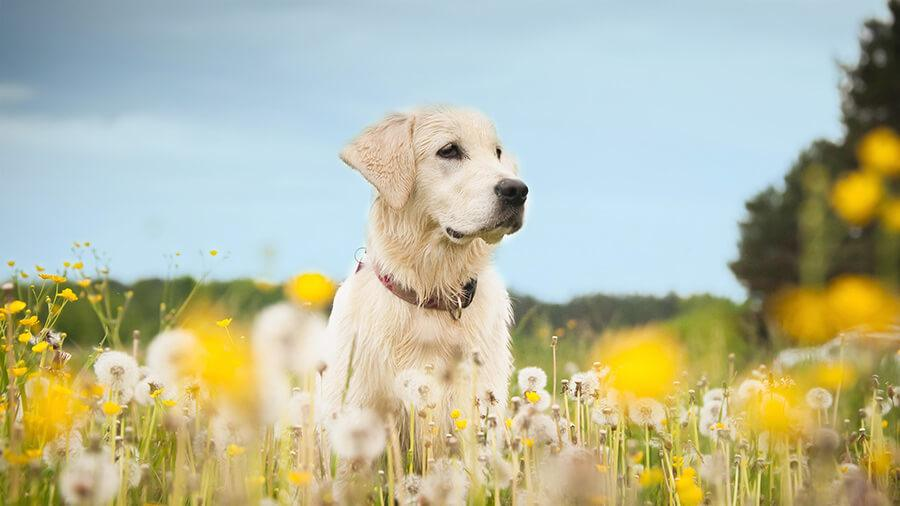 dog sitting the middle of flower field