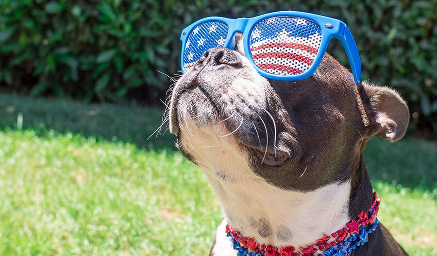 dog with American flag glasses