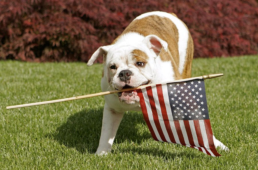 dog holding an American flag in mouth