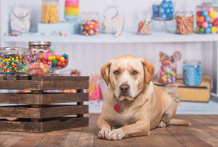 yellow labrardor dog inside a candy store