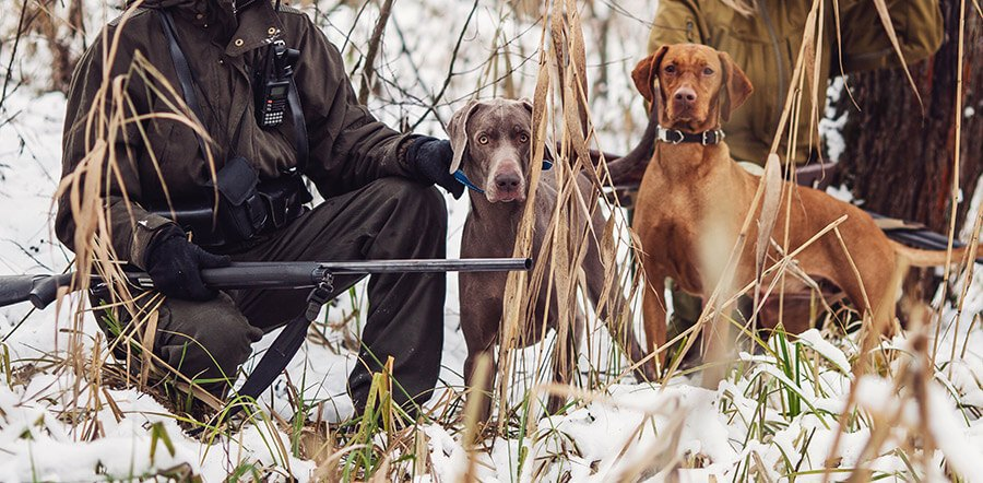 two hunting dogs with owner and gun