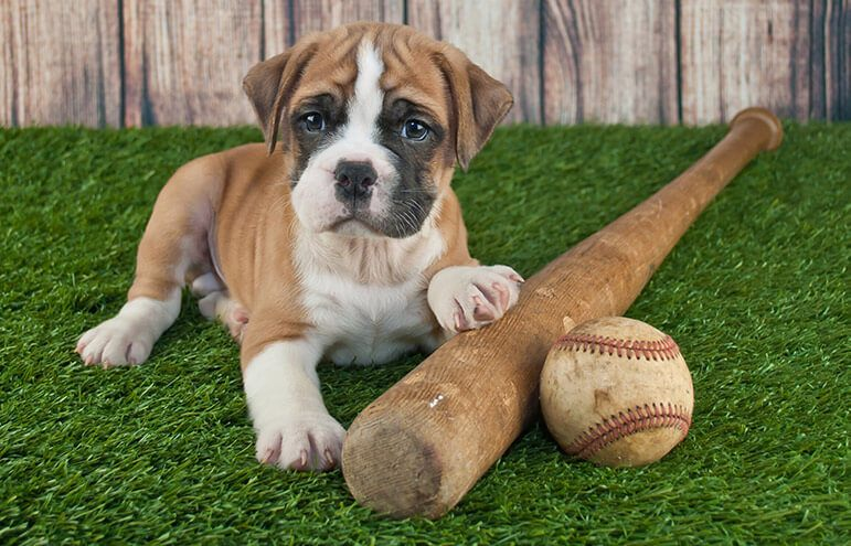 puppy with baseball bat and ball