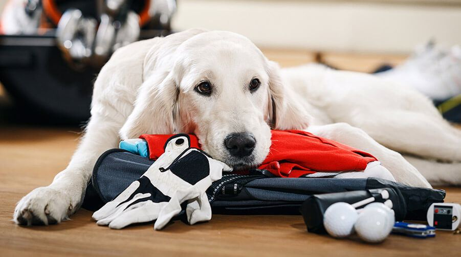 dog sad with head on golf equipment