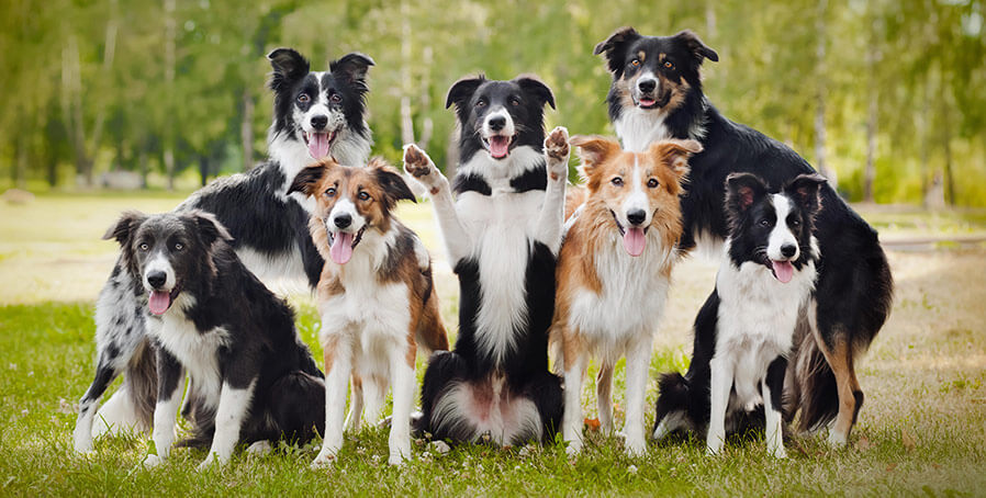 group of border collie dogs
