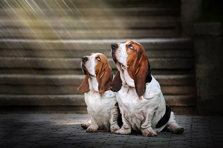 two Spiritual beagle dogs in looking up at a devine light