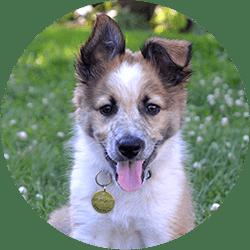 thunder border collie puppy