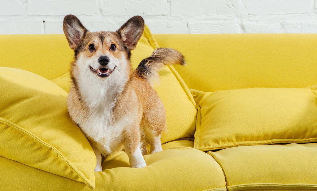 dog standing on yellow couch