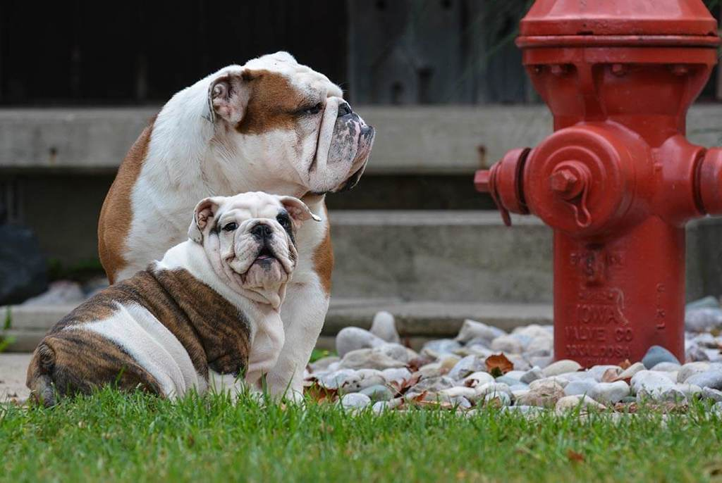 two bulldogs sitting next to a red fire hydrant