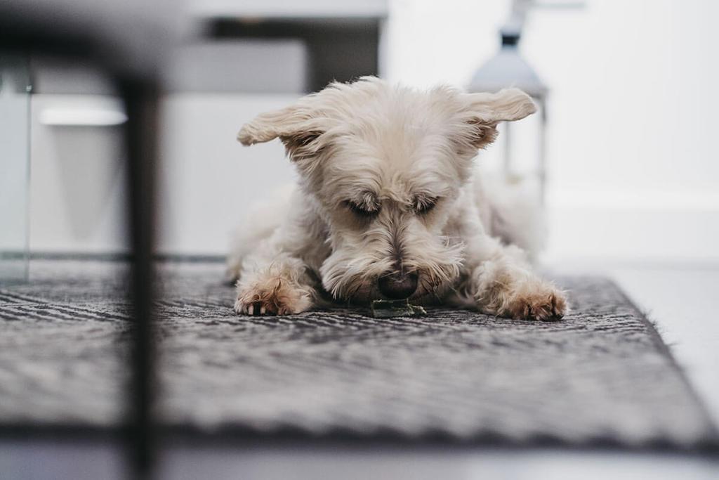 dog smelling ground