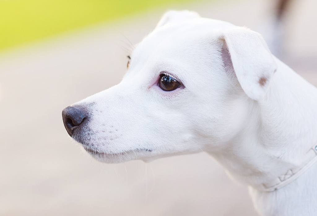 all white dog with brown eyes