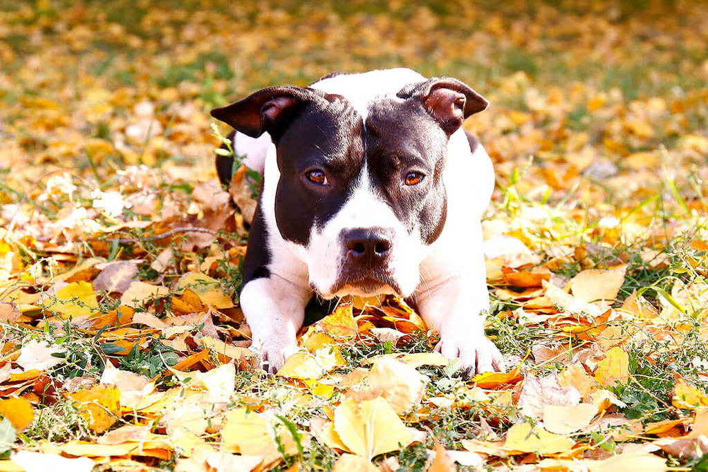 dog laying in fall leaves