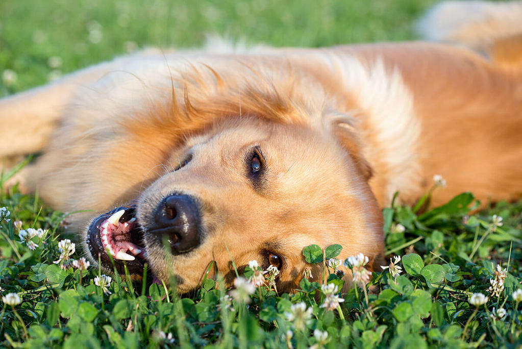 golden dog laying in grass and clovers