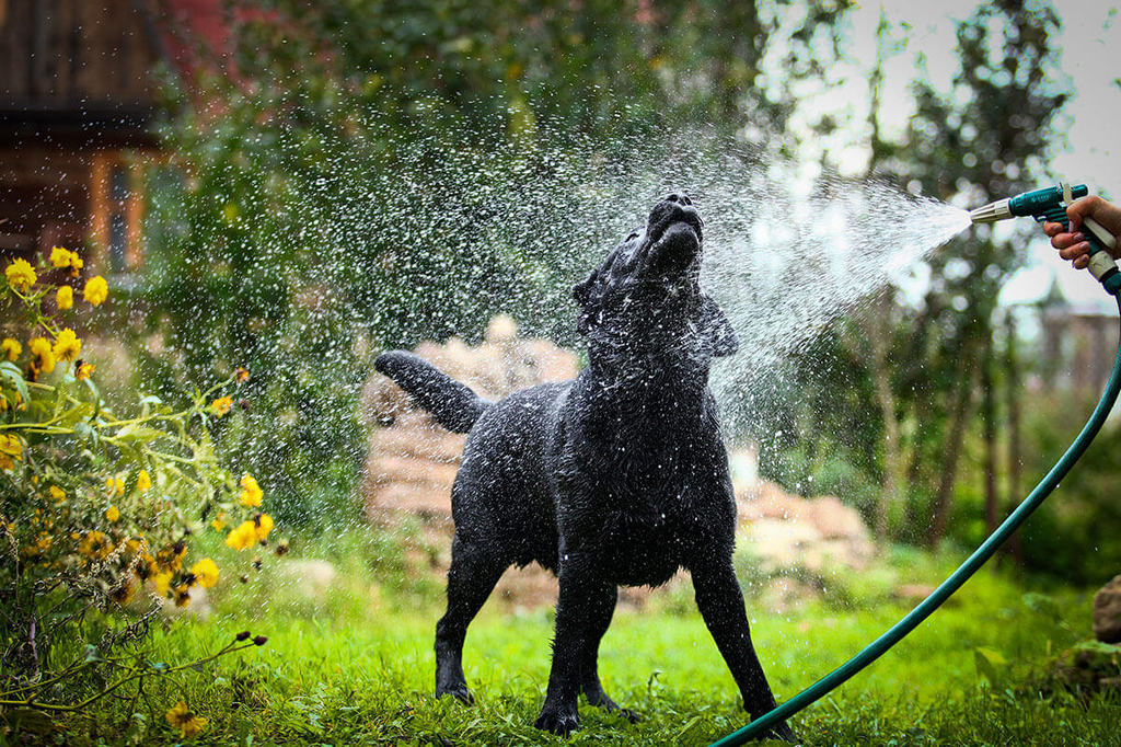black dog enjoying water from hose