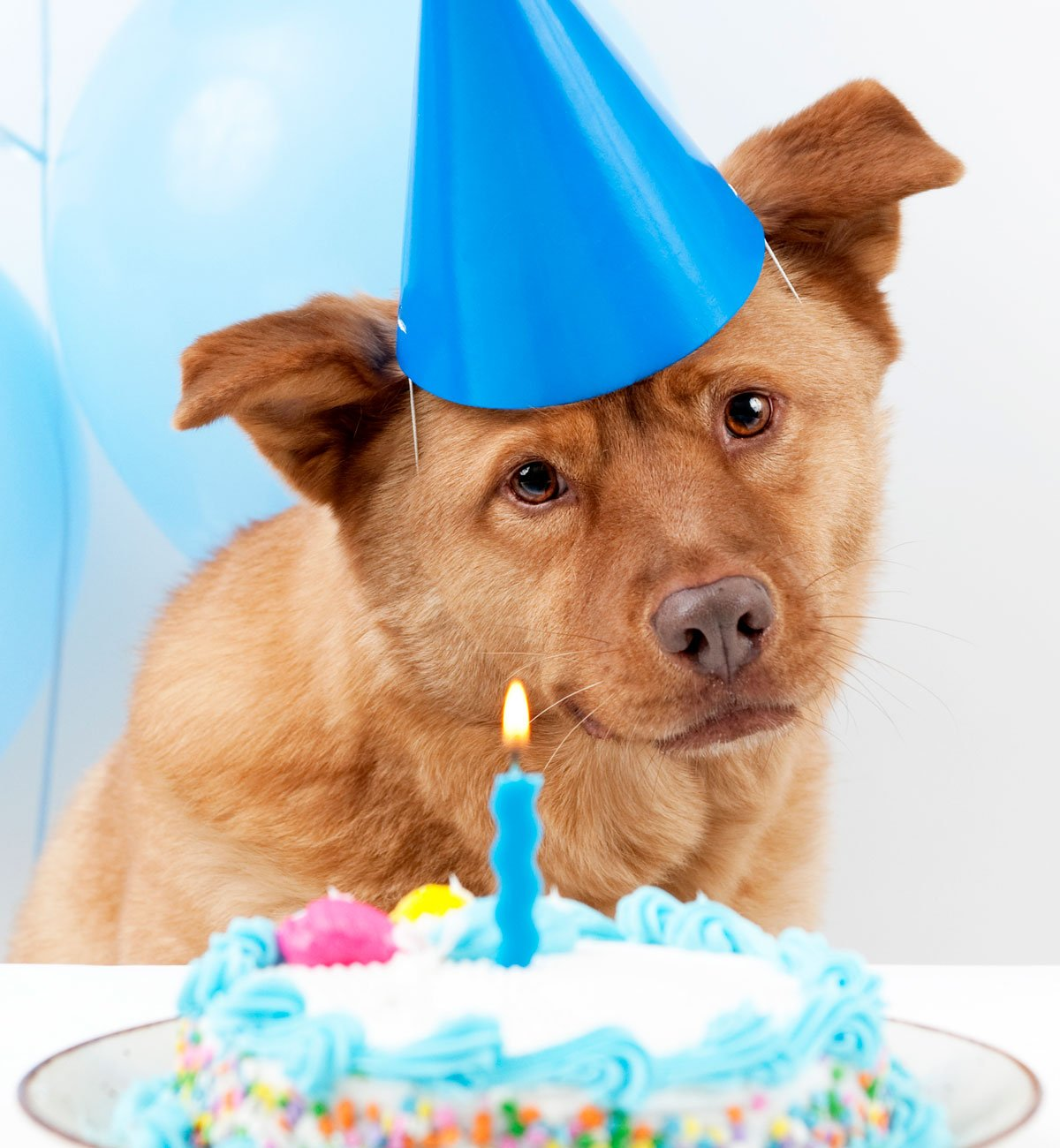 brown dog with a blue party hat and birthday cake with a candle